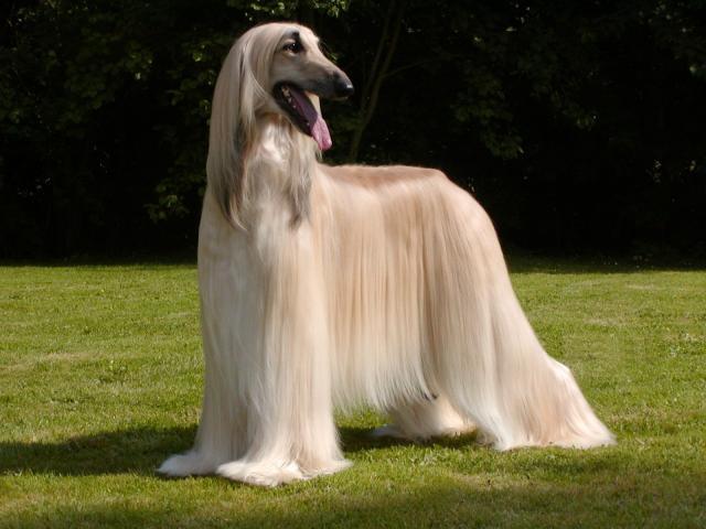 Dog Breeds Afghan Hound Page - JoBSPapa.com