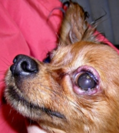 болезни собак глаза с фото
