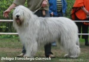 Южнорусская овчарка. Щенки.