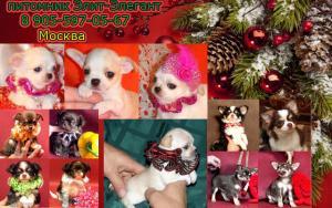 Чихуахуа продаются щенки