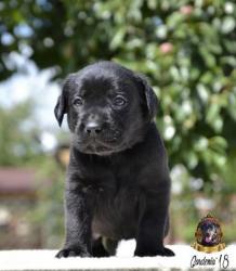 Чёрные щенки лабрадор ретривер