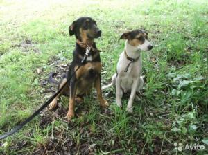 Щеночки Тобик и Рексик в дар