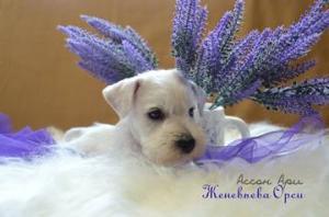 Купить щенка цвергшнауцера в Минске