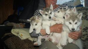 Продаю щенков сибирской хаски