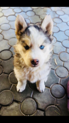 Цвет серо -белый . Глаза разные голубой -карий