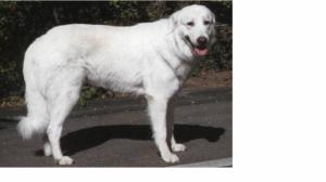 Ищу свою собаку - мареммо-абруцкую овчарку
