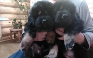 Перспективные щенки тибетского мастифа