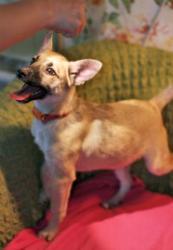 Ищет дом миниатюрная щенулька Рари.
