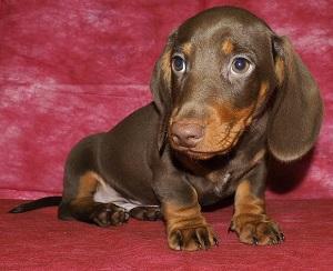 ТАКСА- подрощенные ШОКОЛАДНЫЕ щенки