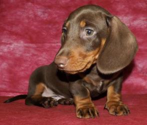Таксы подрощенный щенок- Шоколадный мальчик