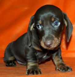 Таксы щенки- шоколадный окрас