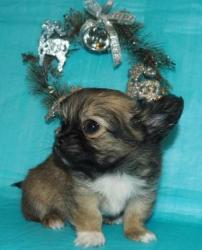 ЧИХУАХУА щенок - ДЛИННОШЕРСТНЫЙ мальчик РКФ