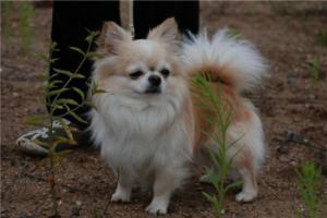 Чихуахуа- длинношерстные щенки