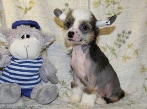 Китайской хохлатой собачки элитные  щенки.