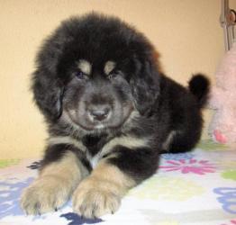 Тибетский мастиф клубные щенки