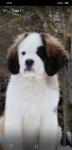 Выбор щенка сенбернара