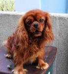 Кавалер кинг чарльз спаниель DARCY Canis Satelles, импорт Польша, рубинового окраса, мультичемпион, открыт для вязок.