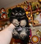 Продаются щенки померанского шпица эффектного окраса