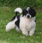 Пуделя арлекина  щенок (бело-черный)