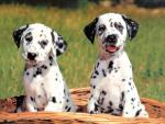 Обои собаки. Братья далматины