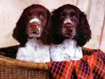 Обои собаки. Серьезные братцы