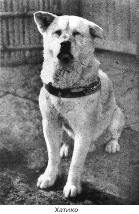 Фотография настоящего Хатико (Хачико) 1932 год.  До нас дошли фотографии настоящего Хатико.